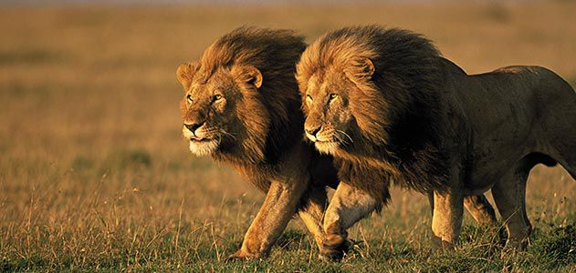78529515ac5e Two male lions in Kenya