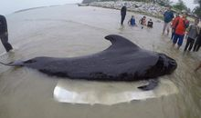 Whale Dies in Thailand With 80 Plastic Bags in Its Stomach