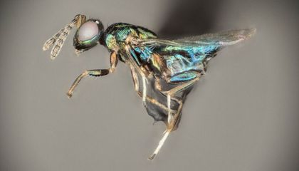 Parasitic Crypt-Keeper Wasp Manipulates the Minds of Seven Fellow Insect Species