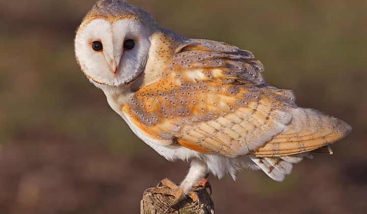 Barn Owls Do Not Suffer From Hearing Loss