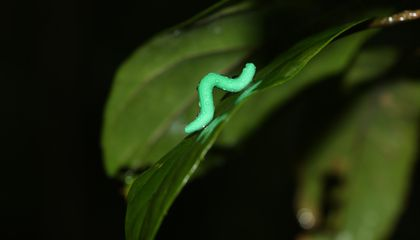 Sacrificing Fake Caterpillars in the Name of Science