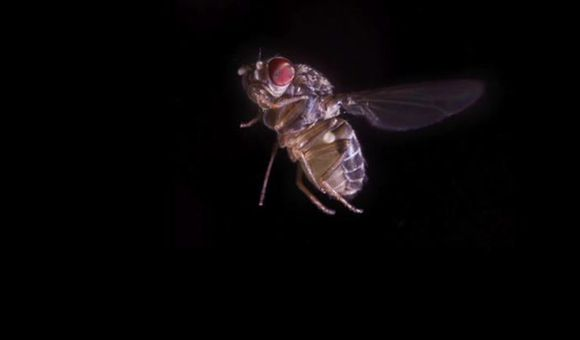 Preview thumbnail for video'A Fruit Fly's Evasive Maneuvers
