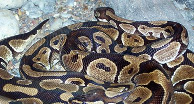 Boa constrictors (courtesy of flickr user Nicovangelion)