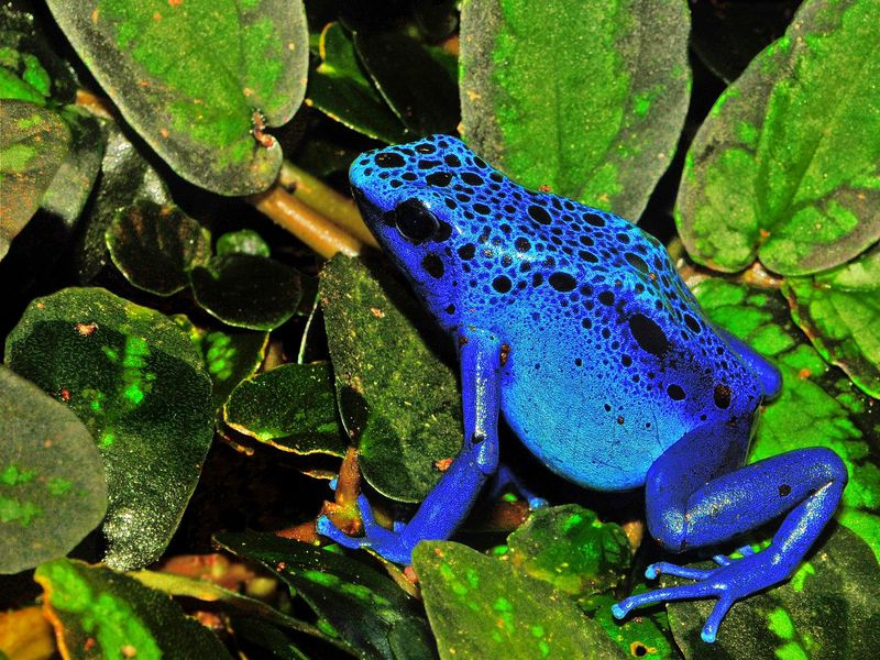 A close up of a poison dart frog. The frog is a vibrant shade of blue with black spots going along its head and back.