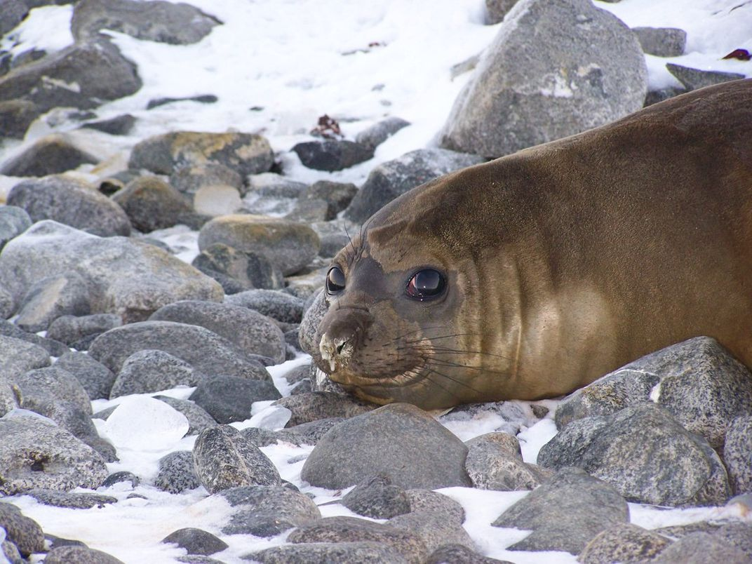 A seal on rocks in the snow.