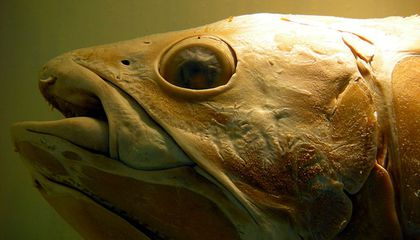 This Fish Outlived Dinosaurs But Oil and Gas Drilling May Threaten Its Survival