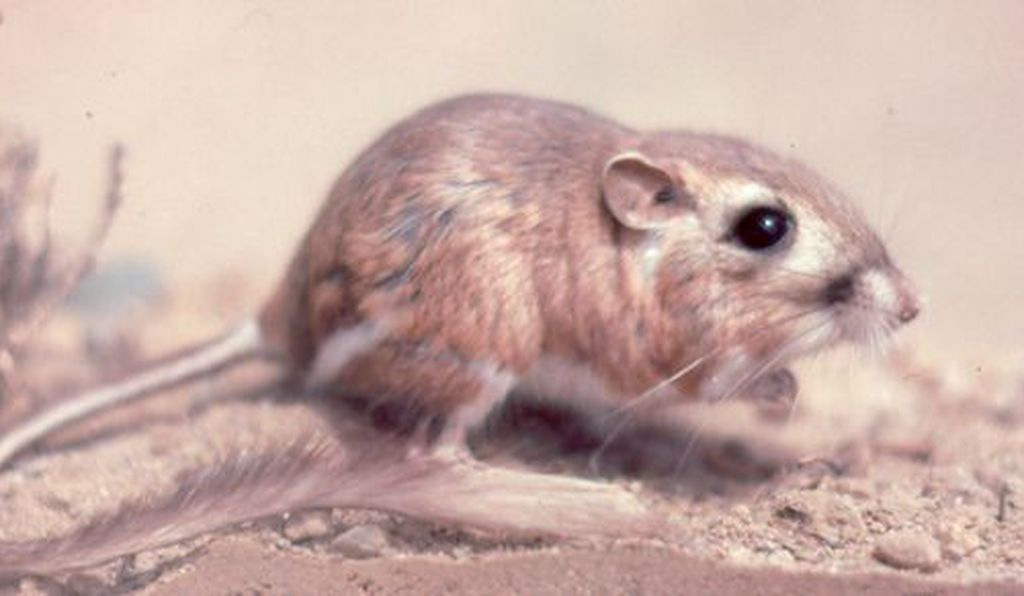 A photo taken in 1989 of what was believed to be one of the last San Quintín kangaroo rats