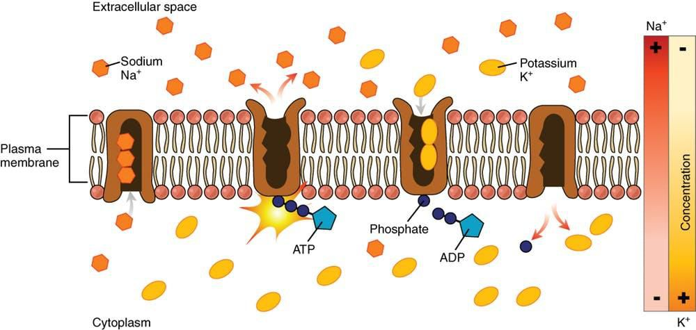 A cross-section of a cell membrane