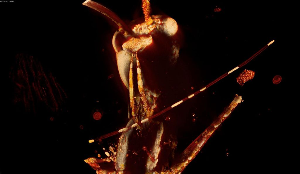 The hell-ant's fearsome fangs are on full display in this 3D false-color rendering of a <em>Haidomyrmex scimitarus</em> queen, produced by combining several hundred two-dimensional x-ray snapshots.