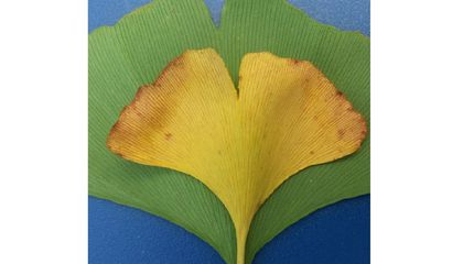 Ginkgo biloba leaves could be the key to reconstructing past changes in carbon dioxide and climate (Rich Barclay, Smithsonian).