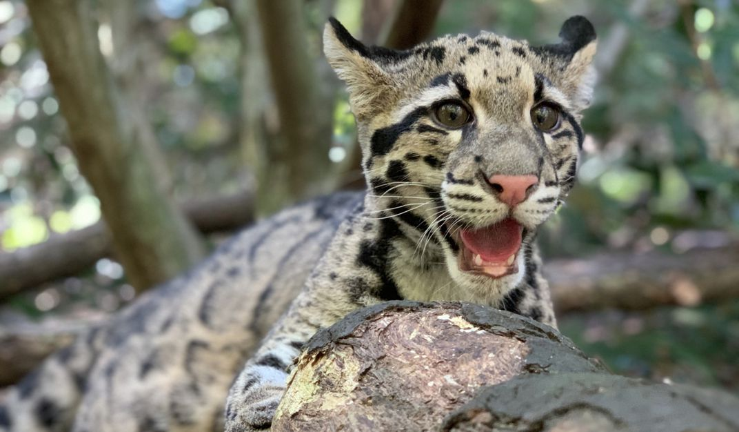 Clouded leopard cub Jilian rests on a tree branch with her mouth open.