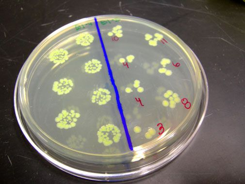 The crew of GeneSat-1 in their Petri dish.