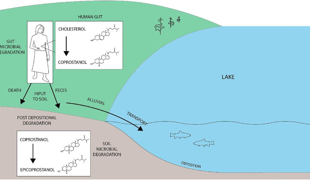 Schematic depicting the formation, deposition, and degradation of human fecal stanols.