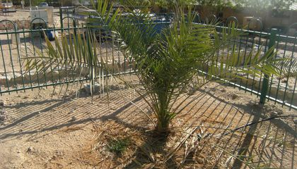 Tree Grown From 2,000-Year-Old Seed Has Reproduced