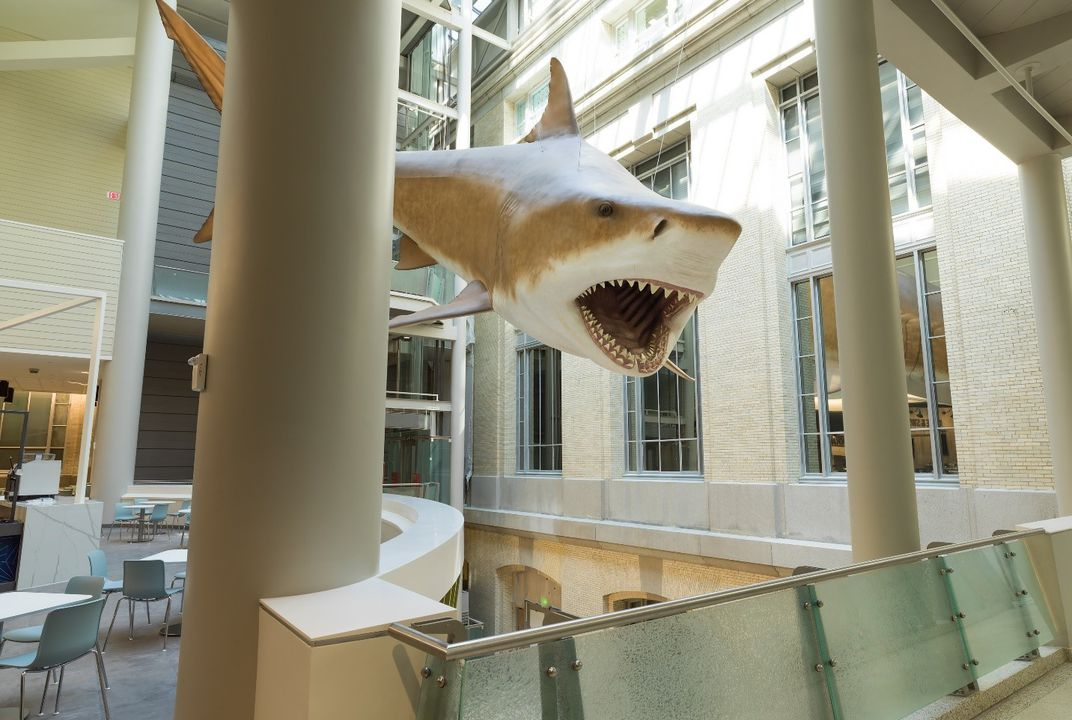 Megalodon May Be Extinct But There S A Life Size One At The Smithsonian Smithsonian Voices National Museum Of Natural History Smithsonian Magazine