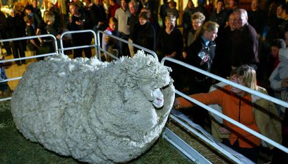 Tasmanian Sheep May Be Wooliest In World