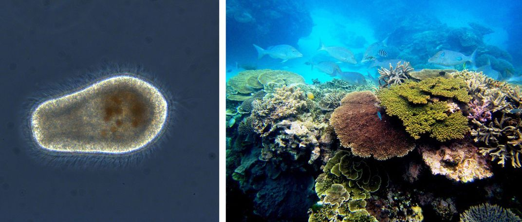 A swimming coral larva (left) and a colorful, healthy coral reef with large corals and swimming fish (right)