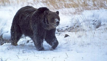 Yellowstone's Most Famous Bear Is Dead