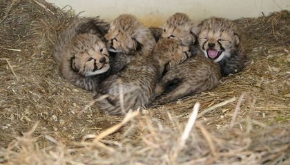 Two Litters of Adorable Cheetah Cubs Born in One Week
