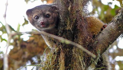 One Year After Discovery, Crowdsourcing the Olinguito