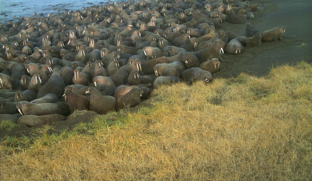 This year, walrus numbers have swelled to some 2,000 creatures, according to the latest counts. Here are the creatures resting on the beaches near Point Lay in 2015.