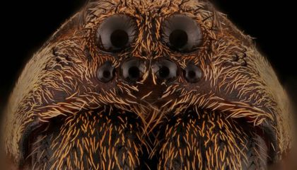 Whoa: Polygamous Wolf Spiders Have a Natural Form of Birth Control
