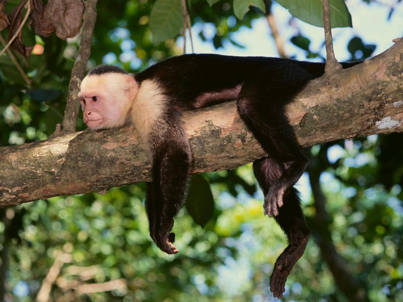 Tired Capuchin