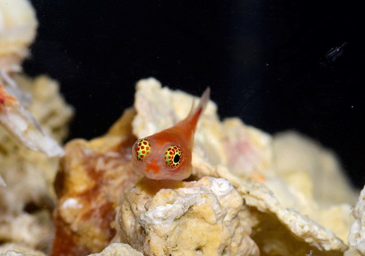 A small, orange fish floating just above some coral.