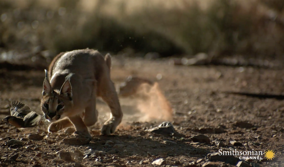 Preview thumbnail for video'Incredible: A Caracal Slaps Down a Bird in Flight