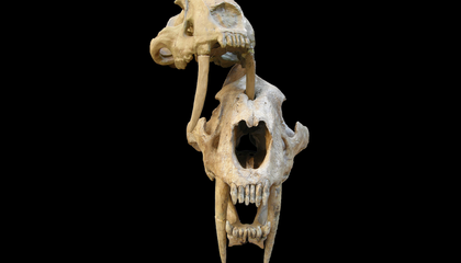 Were Saber-Toothed Cat Fangs Strong Enough to Puncture Bone?