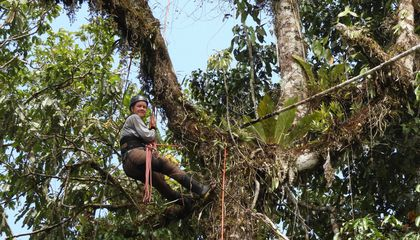 A hundred feet above the forest floor and dense with leaves and plants, the rainforest canopy is a challenging place to study. It's hard to observe from the ground and difficult for researchers to access, so conservation biologist Tremie Gregory learned to climb trees.