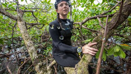 Caribbean Mangrove Forests May Serve as Coral Shelters