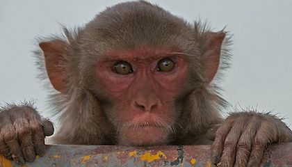 Scientists Manipulate Brainwaves of Cocaine-Addled Monkeys to Improve Decision-Making