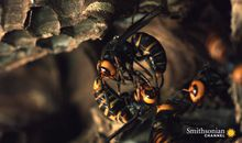 Preview thumbnail for video 'Two Giant Killer Hornet Colonies Battle to the Death