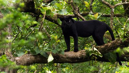Why Are Black Leopards So Rare?