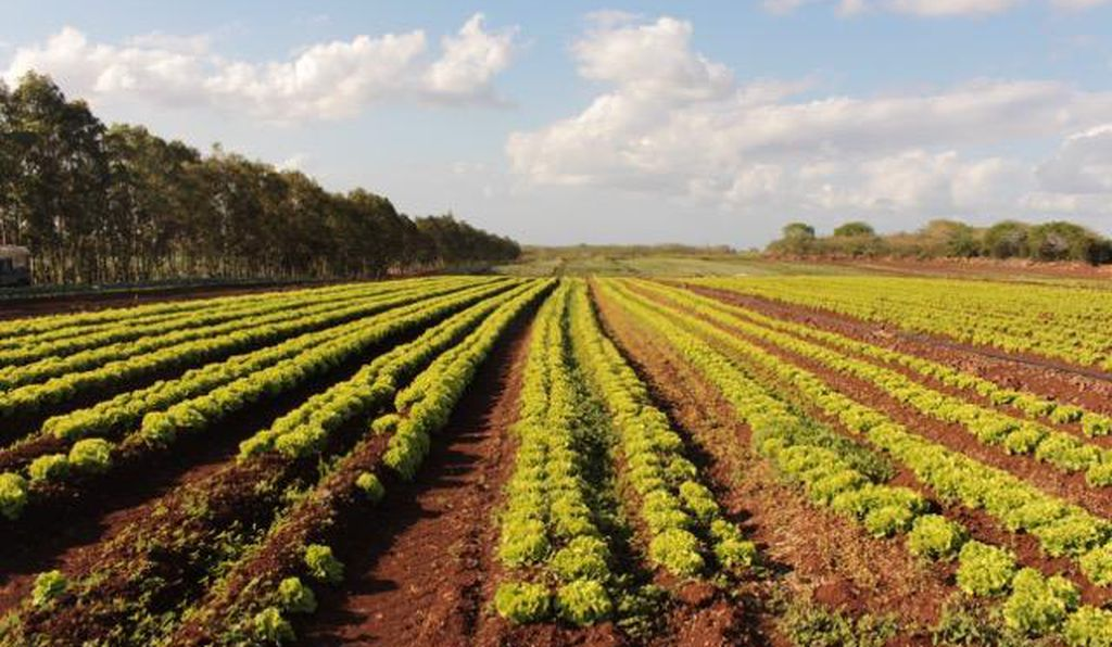 Rows of lettuce grow at a farm that uses