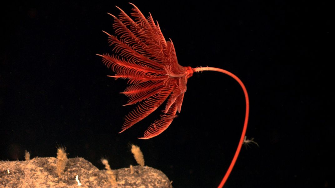 A red crinoid in its underwater home.