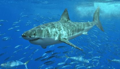 A Puzzling Extinction Event Almost Wiped Sharks Out of Existence 19 Million Years Ago