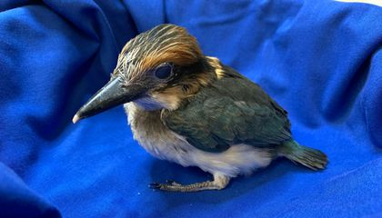 A 28-day-old female Guam kingfisher chick at the Smithsonian Conservation Biology Institute.