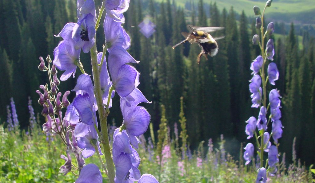 A bumblebee of an unidentified species approaches a flower growing at an elevation of roughly 6500 feet (2000 meters) near Urumqi, in northwest China.