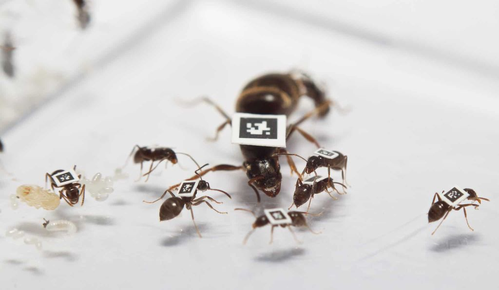 A <em>Lasius niger</em> queen ant and worker ants tagged with tiny QR codes, some smaller than a square millimeter.