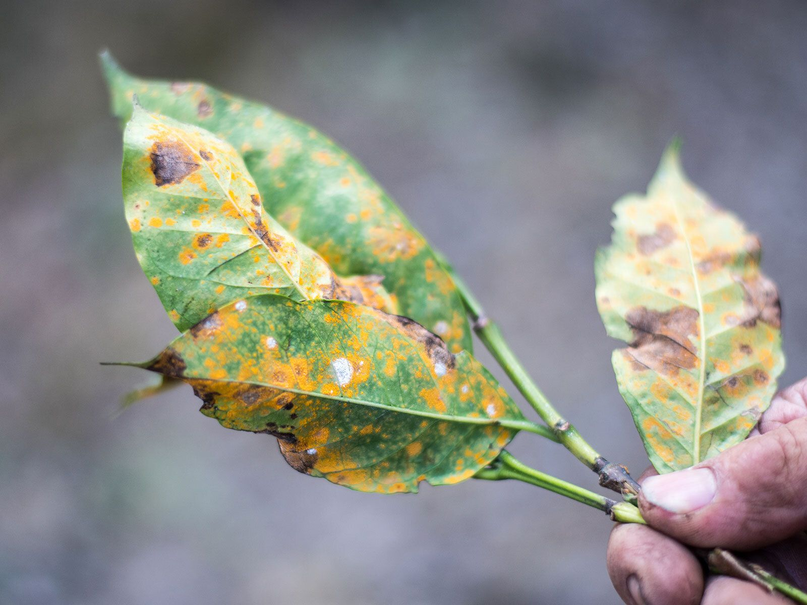 New Study Shows Climate Change May Increase the Spread of Plant Pathogens