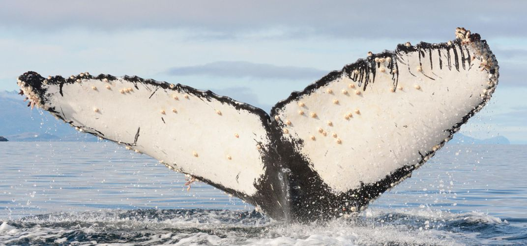 Caption: Orcas Are Hunting Humpback Calves
