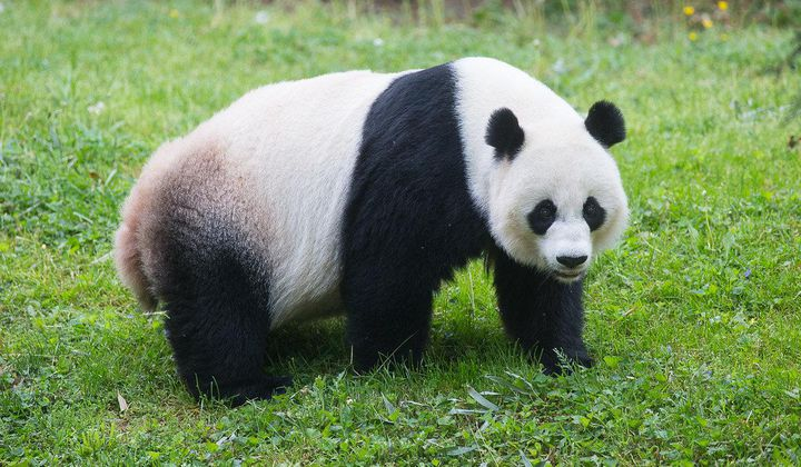 No Panda Cub From Mei This Year