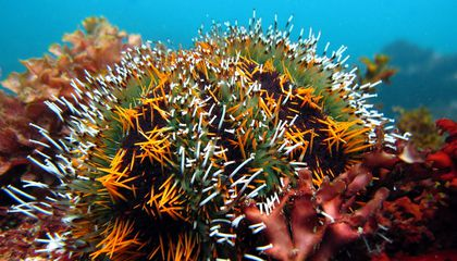 Urchin Sunscreen and Other Ways Animals Beat the Burn