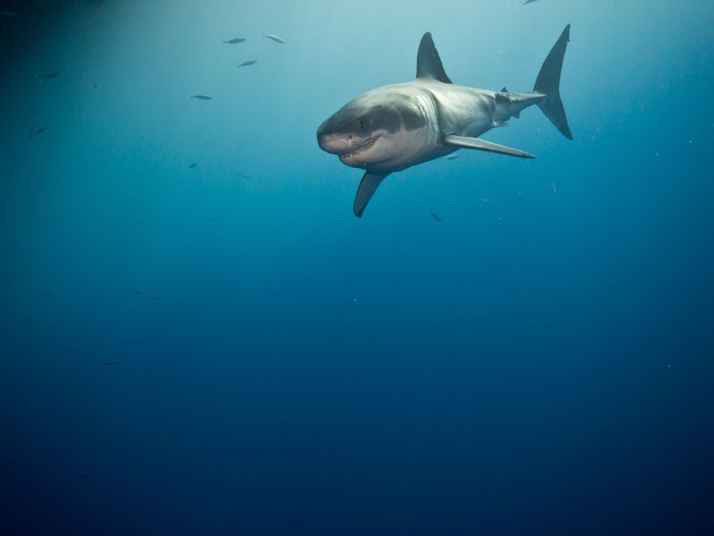 Guadalupe White Shark