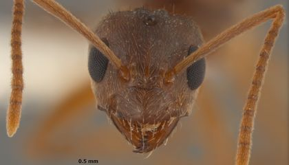 Invasive Crazy Ants Are Eating Up Invasive Fire Ants in the South