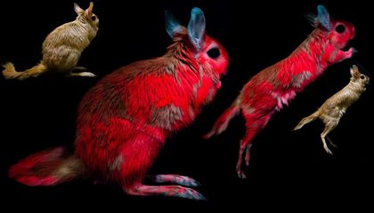 This Bouncing African Mammal Glows Under UV Light
