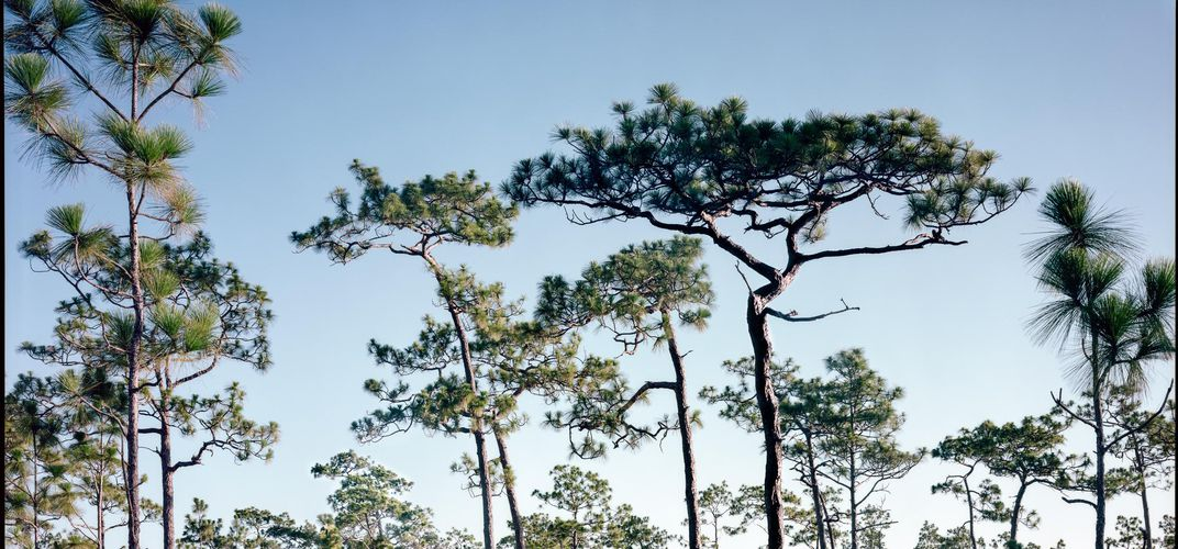 Caption: The South's Last Remaining Old-Growth Pine Forests