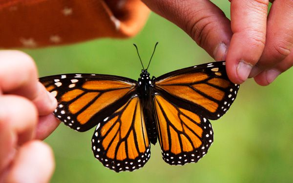 This year, Monarchs cover a little more ground
